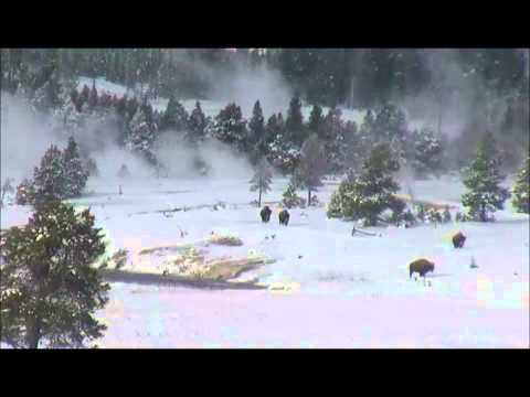 Today Buffalo Arrive At Old Faithful Geyser, Yellowstone National Park