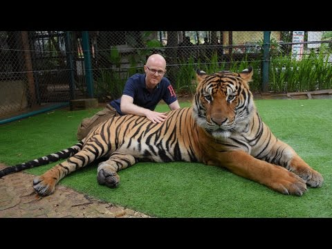 Face to Face with Giant Tigers - Tiger Kingdom, Chiang Mai