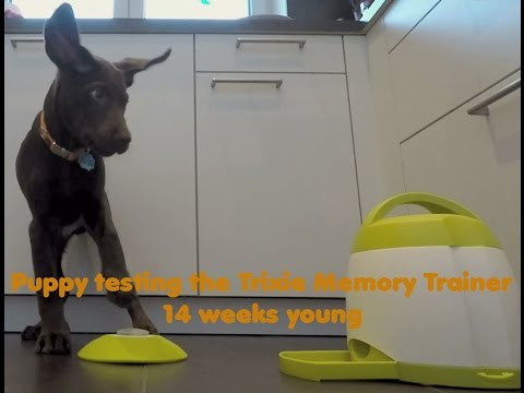 Boomer testing the Trixie Memory Trainer