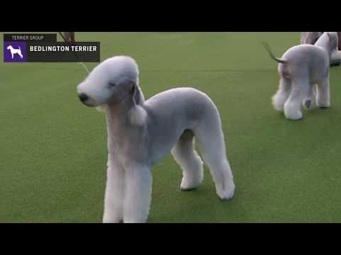 Bedlington Terriers | Breed Judging 2020
