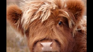 The ten most adorable highland cattle shots of all time