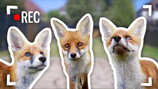 I Filmed Baby Foxes With Hidden Cameras