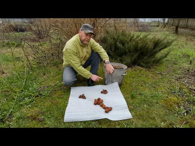 Выращиваем грецкий орех. Посадка, как уберечь от заморозков. Мешок орехов с дерева. Ферма Чистяковых