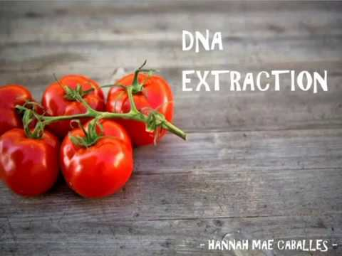 DNA EXTRACTION (TOMATO) - YouTube