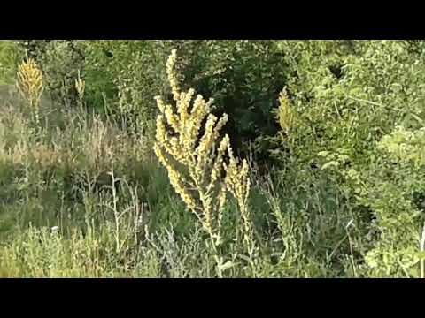 Лекарственное растение коровяк. Лечебные свойства и противопоказания