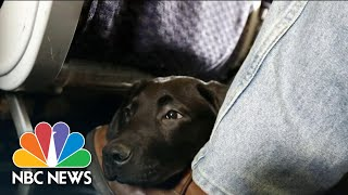 DOT Rules Dogs Are Only Service Animals Allowed On Passenger Planes | NBC Nightly News