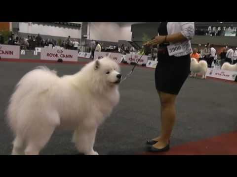 EURO DOG SHOW Brussel 2016 - Samoyed - working & champion classes males