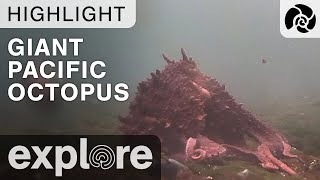 Giant Pacific Octopus - Orca Lab - Live Cam Highlight thumbnail