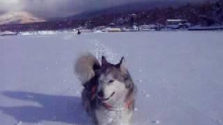 Alaskan Malamute アラスカンマラミュート 銀の雪遊び!