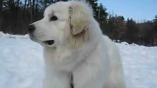 鳥取県 大山レークホテルの看板犬(特訓中!)、グレートピレニーズの【...