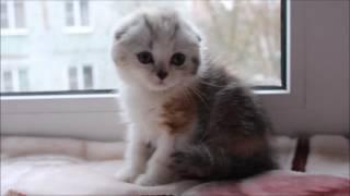 Hillary Tulskaya Krasa. Купить шотландского котенка.