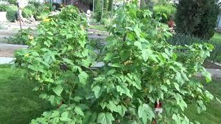 ЖЕЛТЫЕ листья на ЧЕРНОЙ смородине в начале лета. ПРИЧИНЫ  Том загорает
