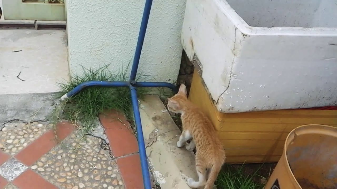 ឆ្មាភ្ញាក់នឹងដែកស្នួរហាលខោអាវ,cat is surprise with some thing