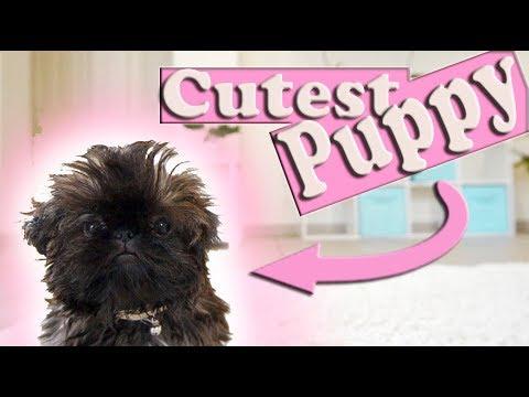 The Cutest Puppy in The World | Imperial Shih Tzu Too CUTE