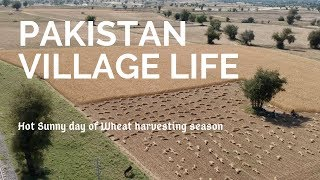 Download Video Pakistan Village life - Hot sunny day of wheat harvesting season MP3 3GP MP4