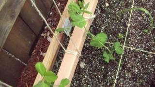 Trellis To Support Peas And Beans