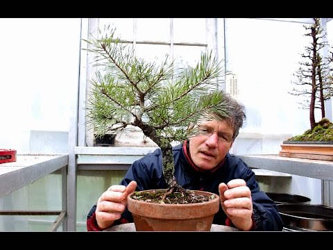 Collected Scots Pine Bonsai, April 2017