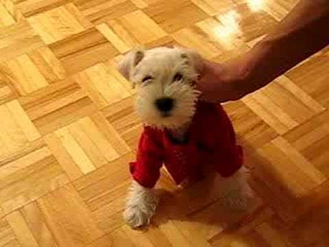 White Miniature Schnauzer Puppy Tintin Youtube