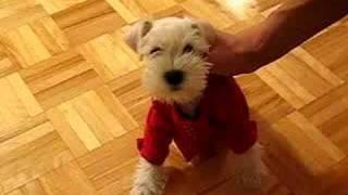 White Miniature Schnauzer Puppy (tintin)