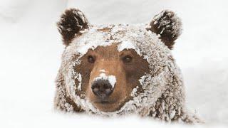 Собака спит под снегом как медведь