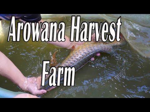 Arowana Harvest |Arowana Surgery | Silver Arowana farm Today | Red Arowana Farm In Malaysia