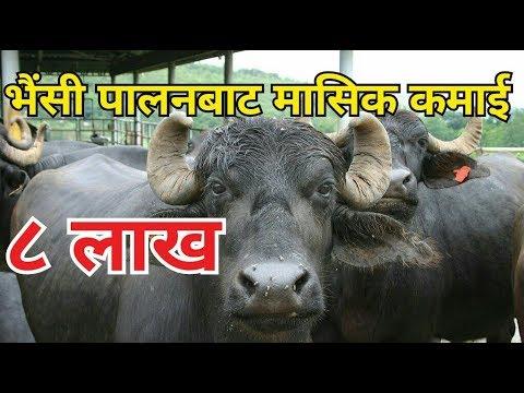 भैंसी पालनमा साचेकाे भन्दा बढी अाम्दानी | Successful buffalo farm in Nepal