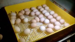 #15. Prześwietlanie jaj, informacje o inkubacji, małe kury.