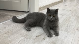 How to Clean Cat Ears | My British Shorthair Cat