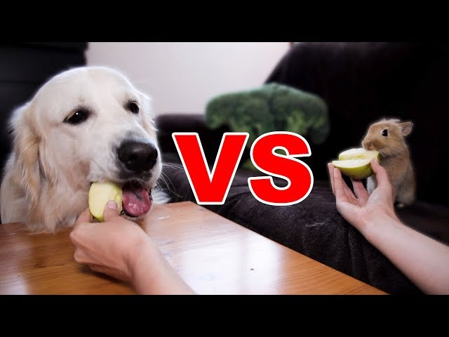 Apple Eating Competition: My Golden Retriever Dog vs. Rabbit