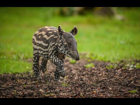 تابير ماليزية تلد طفلا ثالثا في حديقة الحيوان ببلجيكا  - نشر قبل 5 ساعة