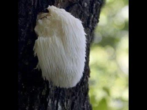 Чудо гриб. Это должен знать каждый.( Герициум)