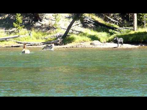 Elk Wolf Showdown in Yellowstone