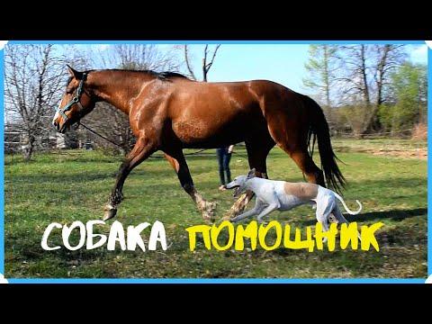 Важно лошадь работать как можно чаще. Почему борзая бегает за лошадью