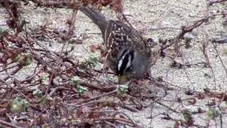 Nuttall's White-crowned Sparrow at Crissy Field Dunes, Presidio San Francisco