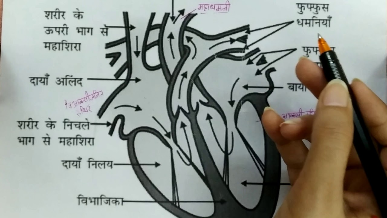 Flow of blood through various chambers of heart (in Hindi ...