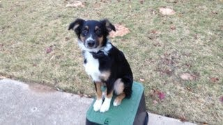 Molly - Australian Shepherd - Puppy Training Oklahoma