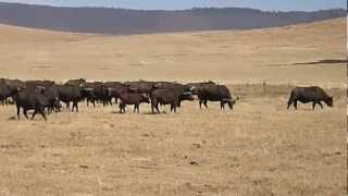 Ngorongoro Crater Lion vs Buffalo