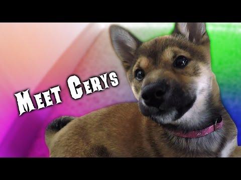 Meet Cerys the Shiba Inu Puppy