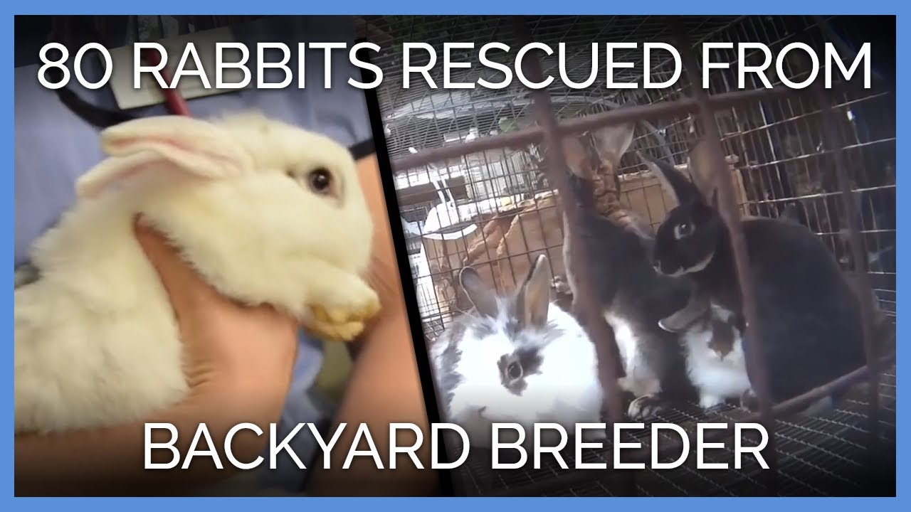 More Than 80 Rabbits Rescued From Backyard Breeder - YouTube