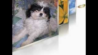Shih-poo Puppies For Sale Shi-poos In Mississippi