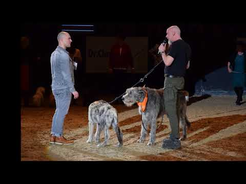 Irish Wolfhound Club DogLive Münster 2018