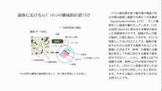 グラム陰性菌の菌体構造とエンドトキシン