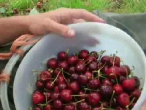 Fruit picking in denmark.