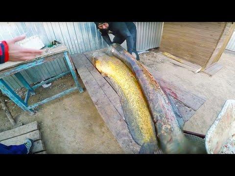Подводная Охота. Огромные Сомы Людоеды!