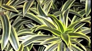 Комнатная драцена, основы ухода и размножения, выращивание в домашних условиях