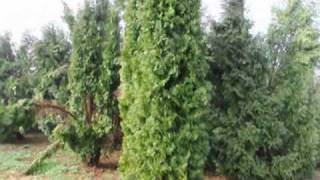 Green Giants are Recommended for Fast growing Privacy trees