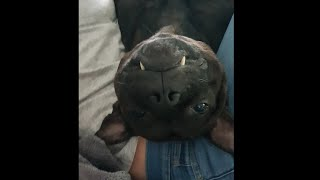 Get a Staffy they said, it will be fun they said.. (Staffordshire Bull Terrier)