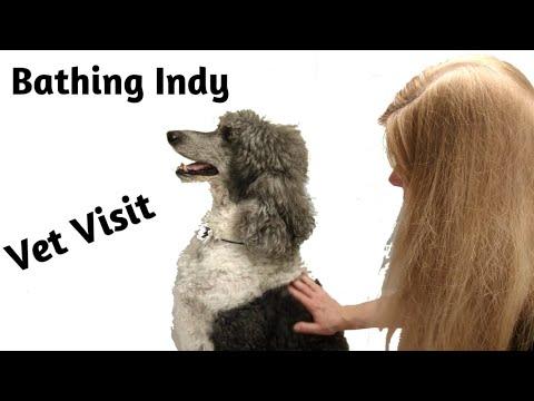 Bathing Indy My Standard Poodle for his Vet Visit