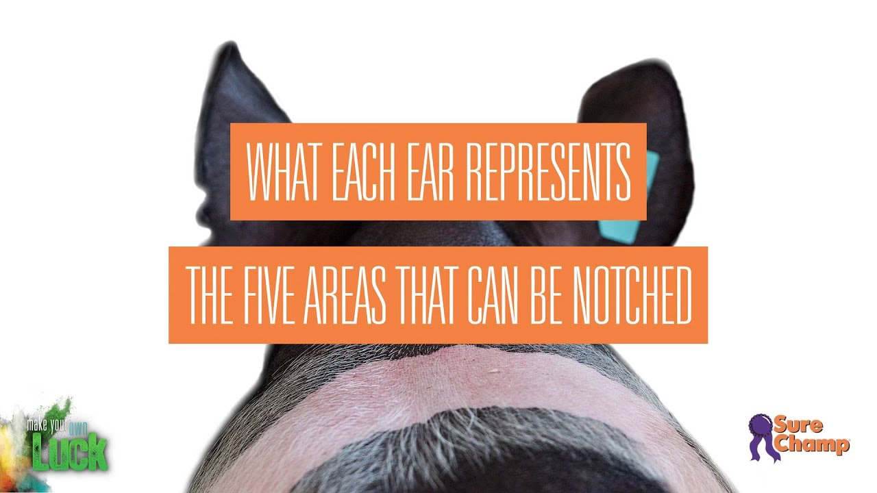 show pig how to read ear notches