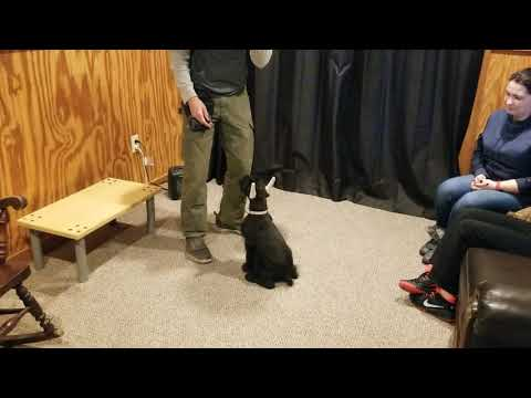 "Giant Schnauzer Puppy ""Costello"" 11 Wks Early Puppy Training BAB Candidate For Sale"